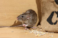 How Much Damage Could a Rodent Really Cause?  Image