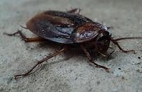 Bug of the Month August: Oriental Roaches Image